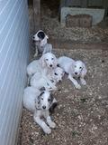 Cachorros Sabueso con Grifon . - foto