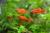 PECES PLATY MICKEY MOUSE - foto