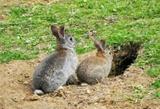 Venta de conejos - foto