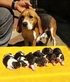Cachorros beagles - foto