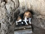 Beagles - foto