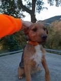 Se vende PATTERDALE terrier hembra - foto