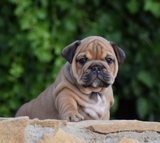 NEW ENGLISH BULLDOG - foto