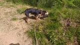 Perro de jabali - foto
