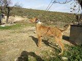 perros de jabali - foto