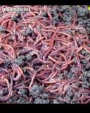 lombriz roja de california para pesca - foto