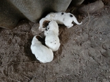 vendense cans de jabali - foto