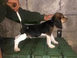 cachorro pettit basset x beagle - foto
