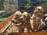 Cachorros jabali - foto