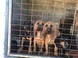 se venden cachorros Bloodhound - foto