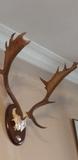Trofeo de caza gamo - foto