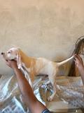 cachorro de pointer - foto