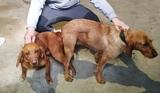 Se reservan cachorros para caza de zorro - foto