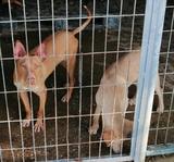 extra ordinarios cachorros de podenco - foto