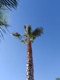 Se podan palmeras - foto