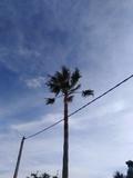 Se podan palmeras santi petri - foto