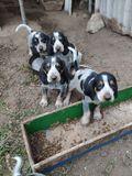 Cachorros para jabalí - foto