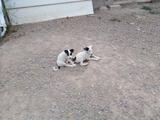 cachorros de dogo con podenco - foto