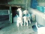 cachorros de podenco andaluz - foto