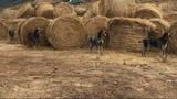 Perros de Jabali suelta - foto