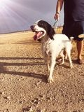 Setter cachorro para compañia - foto