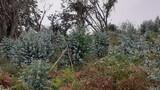 Se limpian montes de eucalipto - foto