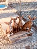 cachorras podenco canario - foto