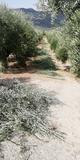 podadores de fincas de olivar y almendro - foto