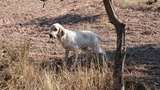 cachorros e iniciados de setter inglés - foto