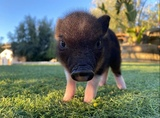CERDITOS MINI PIG - foto