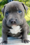 VENTA PROFESIONAL PITT MERLE Y BLUE - foto