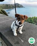 ADORABLES JACK RUSSELL - foto