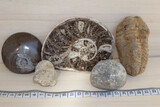 Fosiles lote n3 de 5 fosiles variados - foto