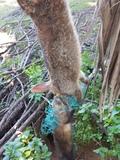 Sobrepoblación de conejo y jabalí. - foto