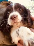 cachorros springer Spaniel - foto