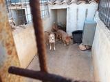 se vende cachorro de podenco - foto