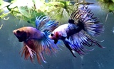 BETTA SELECCION - foto