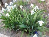 Iris germánica blanco - foto
