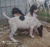 cachorros de ariegeois - foto
