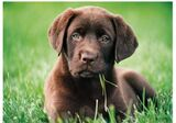 LABRADOR RETRIEVER COLOR CHOCOLATE - foto