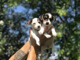 JACK RUSSELL CHIQUITINES - foto