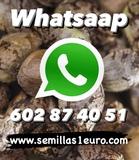 • WWW. SEMILLAS1EURO. COM • - foto