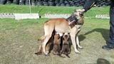 PASTOR BELGA MALINOIS CALIDAD.  TOP DOGS - foto