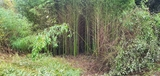 Regalo cañas indias (Bambú) - foto