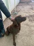 Labrador chocolate en Aranjuez - foto