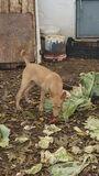 Cachorro de podenco - foto