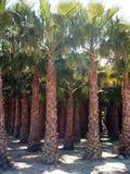 PALMERAS (COCOS,  WASHINGTONIA,  BRAHEA. . .  - foto