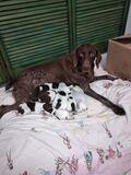 Vendo cachorros de braco aleman - foto