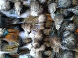 Plumas de riñonada pardos e indios - foto