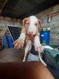 Cachoros de podenco - foto